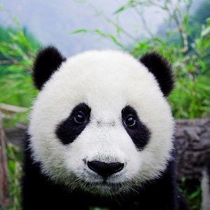 panda-300x300 dans Limited edition